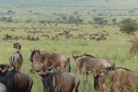 grazing-wildebeest