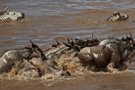 wildebeest-and-zebra-crossing-the-mara-river
