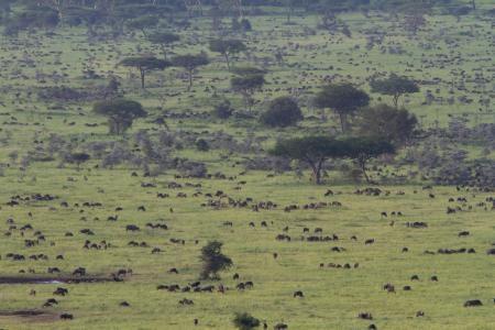 herds-close-to-the-serengeti-sopa-lodge