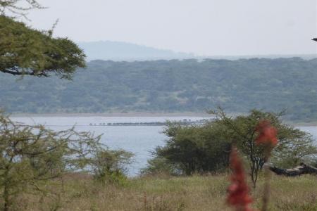 wildebeest-trying-to-cross-lake-ndutu