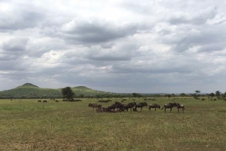 herds-in-the-central-serengeti