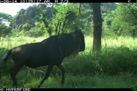 is-that-conrad-the-tweeting-wildebeest