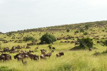wildebeest-around-bologonja-and-nyamalumbwa-hills