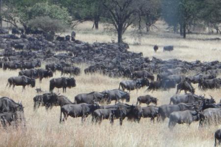 western-herds-at-kirawira-hills