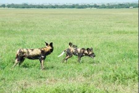 wild-dogs-in-grumeti