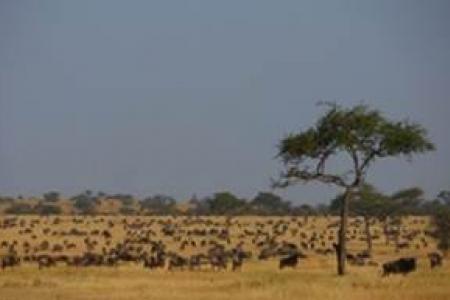 wildebeest-grazing
