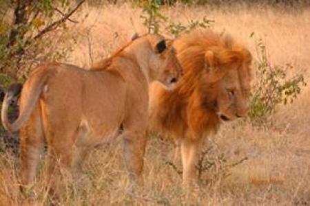 lions-in-grumeti
