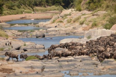 wildebeest-crossing-the-talek-river