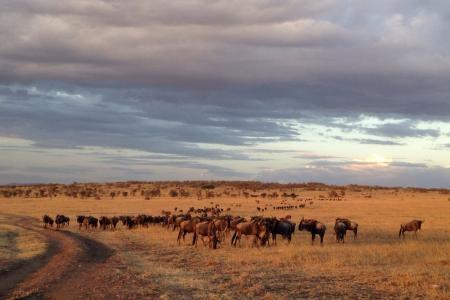 wildebeest-in-the-olare-motorogi-conservancy