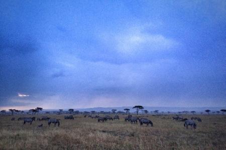 zebra-grazing