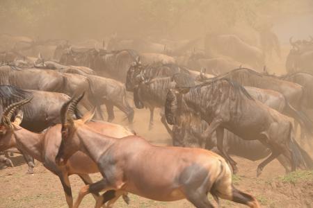 wildebeest-and-topi