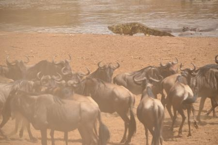 crocodile-startles-wildebeest-and-topi-at-the-mara-river