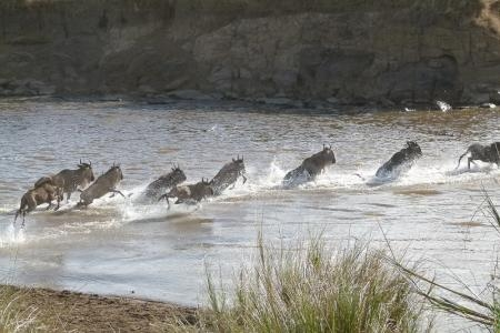 wildebeest-crossing-the-mara-river