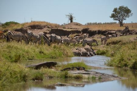 zebra-crossing-a-river-in-the-rongai-area-of-the-masai-mara-national-reserve-in-kenya