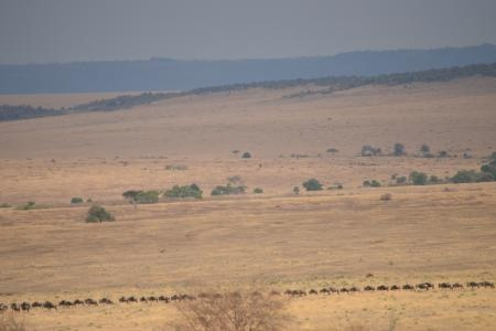 the-wildebeest-migration-make-their-way-to-the-serengeti