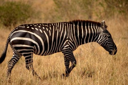 a-zebra-close-to-the-masai-mara-game-reserve-in-kenya