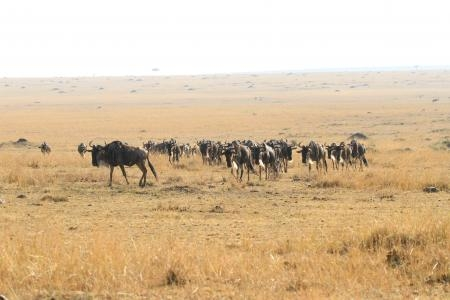 wildebeest-on-the-paradise-plains-in-the-masai-mara-national-reserve-in-kenya