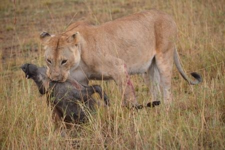 a-lioness-hunts-a-warthog-in-the-masai-mara-national-reserve-in-kenya