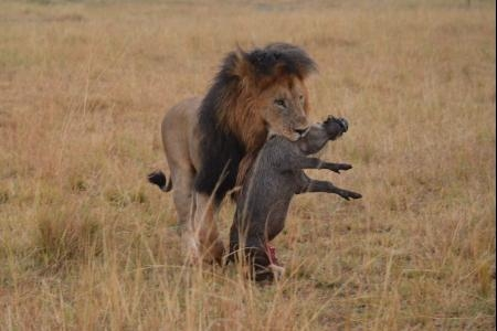 a-male-snatches-the-warthog-from-the-masai-mara-kenya