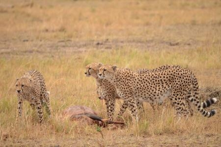 cheetah-stand-around-the-topi-kill-in-kenya