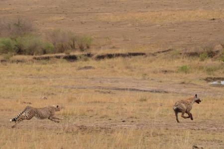 cheetah-chases-hyena-away-from-a-kill-in-the-masai-mara-kenya