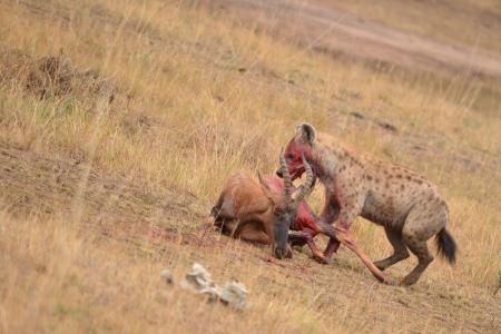 hyena-with-topi-kill-in-the-masai-mara-national-reserve-kenya