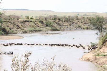 a-line-of-wildebeest-in-the-mara-river-in-kenya