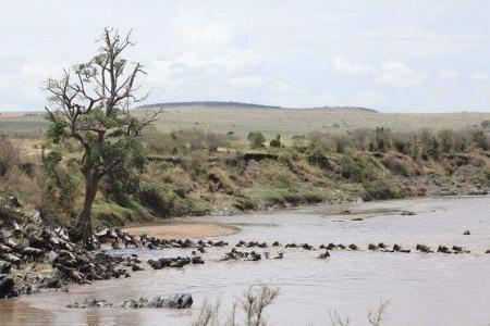wildebeest-make-it-across-the-mara-river