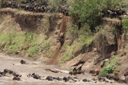 the-wildebeest-migration-take-the-plunge-into-the-mara-river