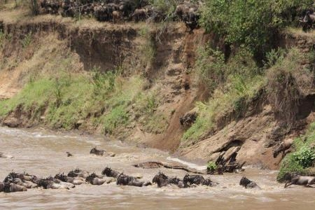 the-herds-jump-into-the-mara-river