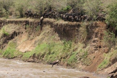 the-wildebeest-jump-off-a-steep-mara-river-bank