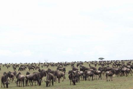 the-herds-in-the-masai-mara-national-reserve-in-kenya