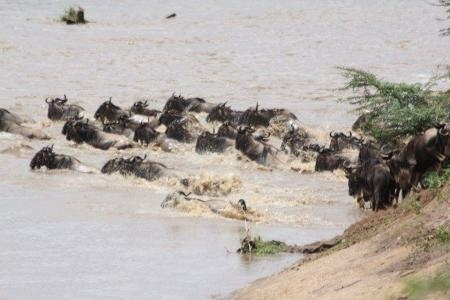 the-wildebeest-migration-move-into-the-masai-mara