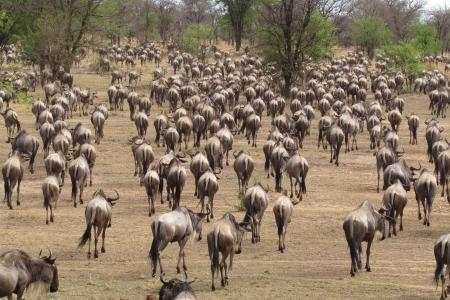 the-wildebeest-herds-have-started-to-head-south