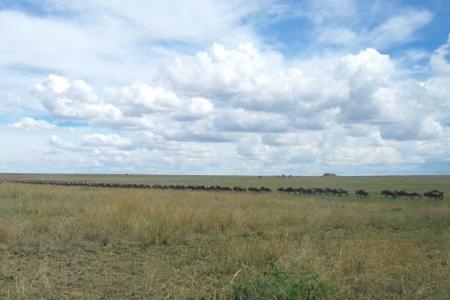 long-lines-of-wildebeest-from-seronera-to-four-seasons