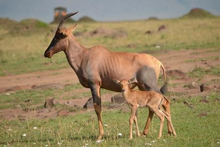 topi-in-the-masai-mara-national-reserve-in-kenya