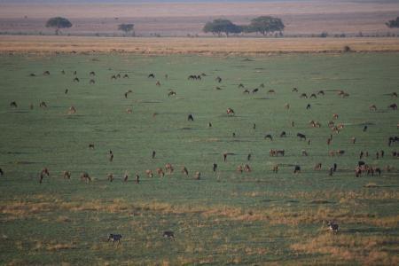Large herds of wildebeest in Seronera