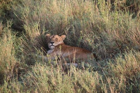 A lion rests in the thick grass