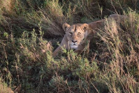 A lioness makes eye contact with the camera during a balloon safari