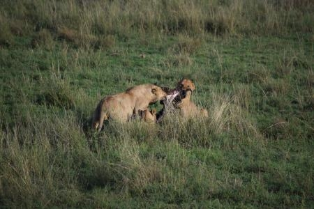 Lionesses fighting over a carcass