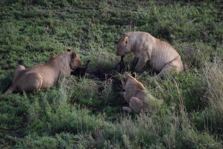Lionesses with a wildebeest kill