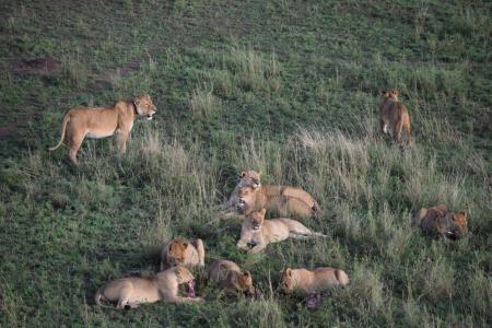 A lion pride in Seronera