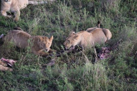 Two lionesses with a wildebeest carcass