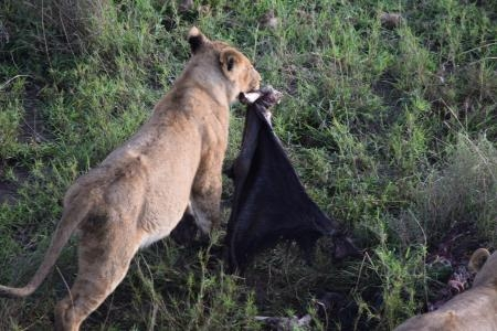 A lioness carries the wildebeest carcass