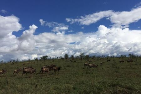 Scattered groups of wildebeest along the Four Seasons access road