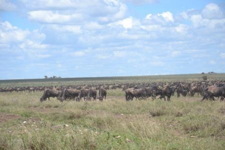 The wildebeest migration are heading towards the Naabi Gate