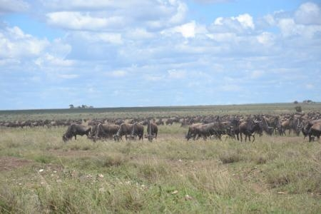 The wildebeest migration in the central Serengeti