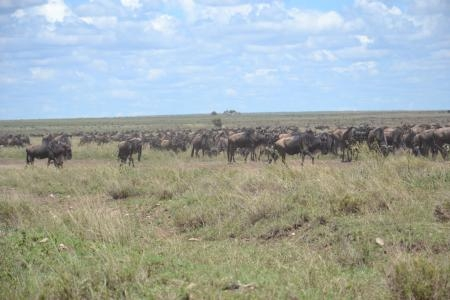 The herds in the central Serengeti