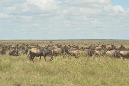 The migration passing through the central Serengeti