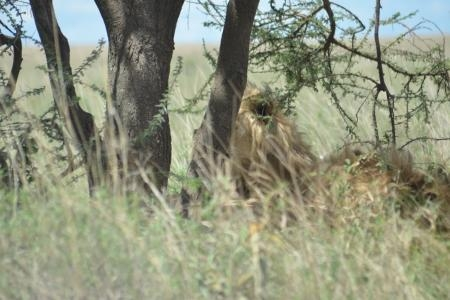A lion hidden behind a tree in the central Serengeti